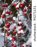 Cotoneaster Berries With A...