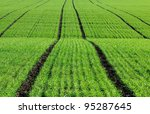 Green Sprouts Of Wheat In The...