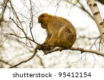 Macaque Sitting On The Birch...