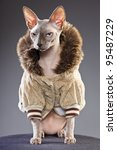 Stock photo studio portrait of sphynx cat wearing fur jacket isolated on grey background 95487229