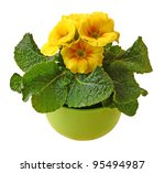 The pot of flowering yellow primrose on a white background is isolated - stock photo