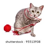 Stock photo a cute egyptian mau cat plays with a red ball of yarn 95513938