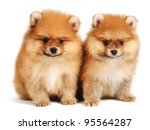 Stock photo pomeranian puppy the age of month isolated on white 95564287