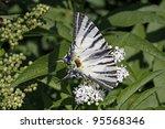 Scarce Swallowtail Butterfly I...