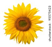 Yellow Sunflower Isolated On...