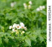 Potato Bush Blooming With White ...