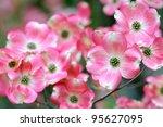 Flowering Dogwood  Pink Flower...