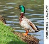Beautiful Male Mallard Duck On...