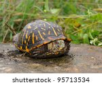 A Shy Turtle Peeks Out Of Its...