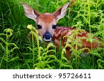 Stock photo newborn whitetail fawn resting in green fern 95726611