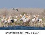 white pelican flock on shore | Shutterstock . vector #95761114