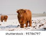 Scottish Highland Cows ...