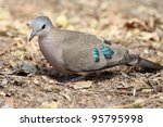 Emerald Spotted Dove Feeding