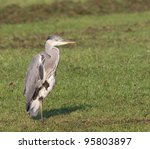 Grey Heron On One Leg In A...