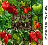 growing and ripening peppers | Shutterstock . vector #95869282