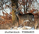 big  trophy  whitetail deer... | Shutterstock . vector #95886805