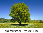 Single Beech Tree At Springtime