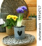 Growing of spring flowers (irises, primula and tulips) in pots on a balcony in expectant of spring - stock photo