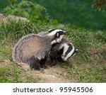 european badger cubs playing in ... | Shutterstock . vector #95945506
