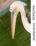 Portrait Of A Pink Pelican