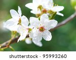 Plum White Flowers With The...
