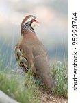Small photo of Partridge, Alectoris rufa.