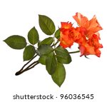 Orange Roses  Isolated On Whit...