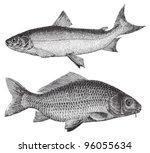 maraene  coregonus maraena ... | Shutterstock .eps vector #96055634