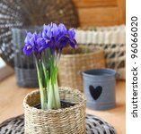Growing of spring flowers (irises and tulips) in pots on a balcony in expectant of spring - stock photo