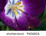 Beautiful purple tulip just after opening.  Macro showing details of stamen and pollen. - stock photo