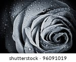 Rose Flower With Water Droplet...