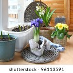 Growing of spring flowers (irises primula and tulips) in pots on a balcony in expectant of spring - stock photo