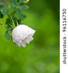 white garden rose - stock photo