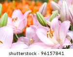 Pink Asiatic Lily Bloom In...