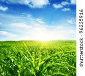Green Corn Field Blue Sky And...