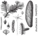 fir  abies pectinata    vintage ... | Shutterstock .eps vector #96409019