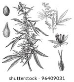 cannabis sativa    vintage...   Shutterstock .eps vector #96409031
