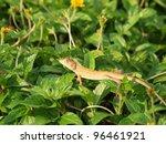 Wild lizard in Thailand close-up - stock photo