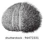 european edible sea urchin or... | Shutterstock .eps vector #96472331