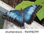 Butterfly Blue Morpho Resting...