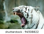 Yawning White Tiger Showing...