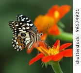 Stock photo lime butterfly on a mexican sunflower 96574921