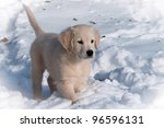 Golden Retriever puppy in the snow - stock photo