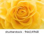 Beautiful Yellow Rose Closeup