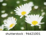 ox eye daisies on a pasture in the Carpathian Mountains - stock photo