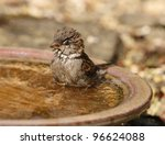 A House Sparrow Cooling Off By...