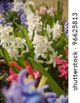 Beautiful multicolored hyacinth flowers in springtime. - stock photo