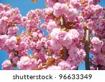 Pink flowering tree in springtime. - stock photo