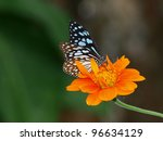 Butterfly on a Mexican Sunflower - stock photo