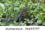 a water monitor  sri lanka   Shutterstock . vector #96695797